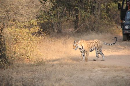 Macchlis T17 Female Tigress sighted at Ranthambore