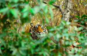 Tiger in Rajasthan, India