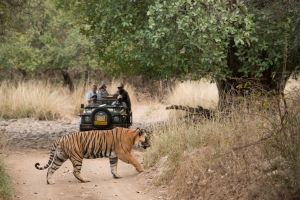 Tiger spotting at Sher Bagh