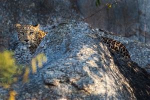 JAWAI is home to a thriving population of leopards