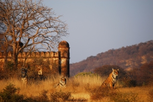 Tigers in Ranthambhore bathe in the shadow of the magnificent temples and forts