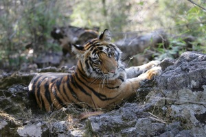 Tigers in Ranthambhore National Park